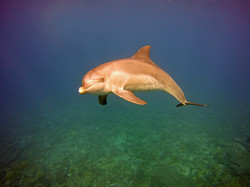 Bottlenose Dolphin in the Red Sea - Image by Alex Denny