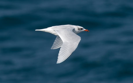 Mediterranean Gull.jpg