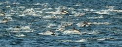 Pod of Common Dolphin - Image Credit: Rob Petley-Jones