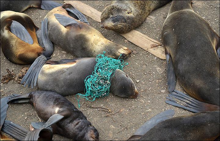 Seals tangled in plastci