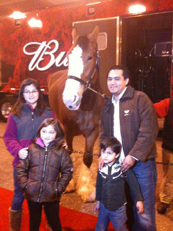Clydesdale Budweiser