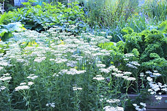 yarrow garden.jpg