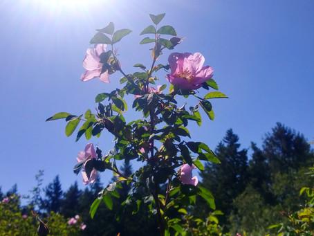 Wisdom from Wild Roses