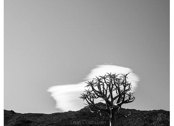 Kokerboom (Quiver tree), Worcester