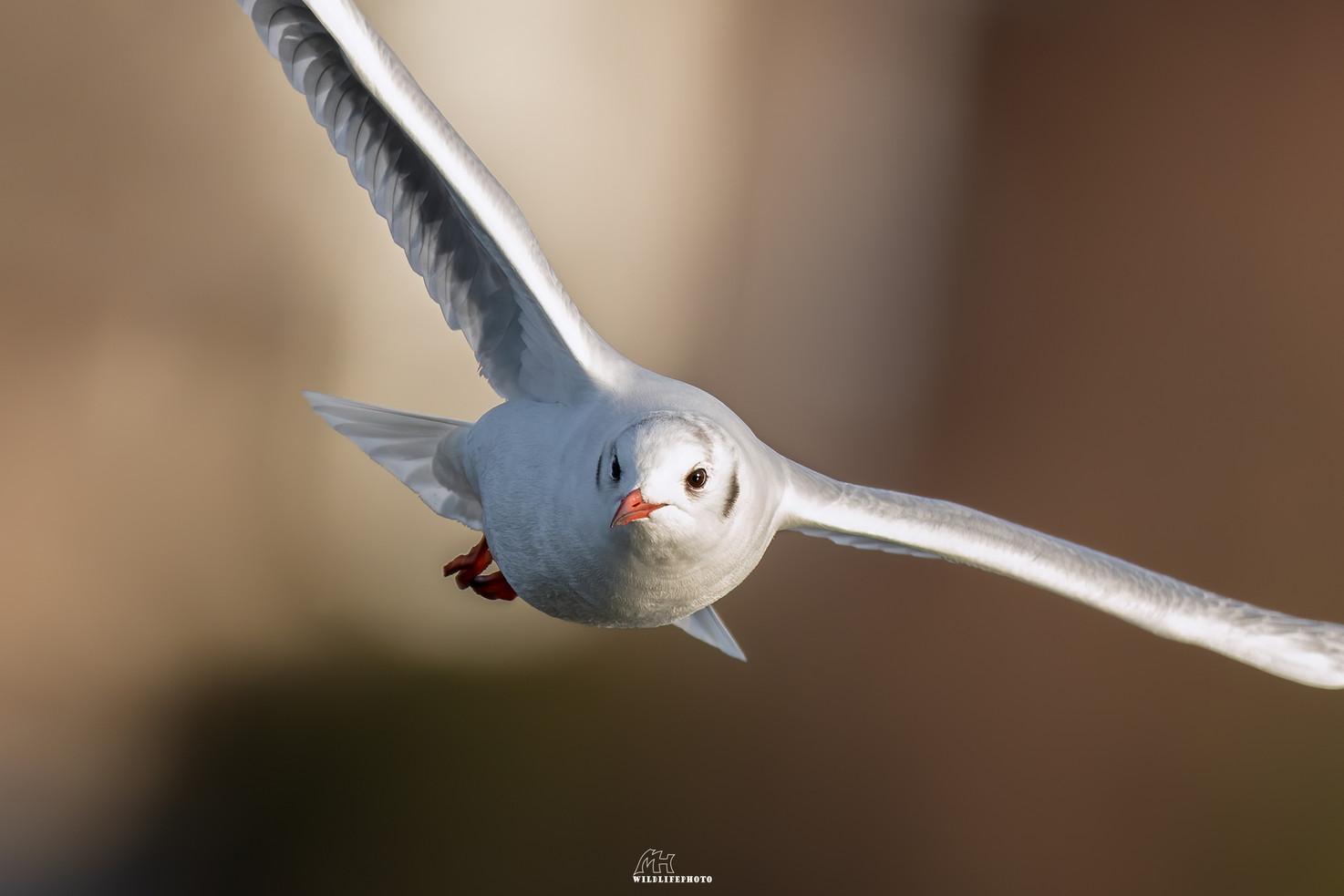 Lachmöwe - Wildtier Fotografie