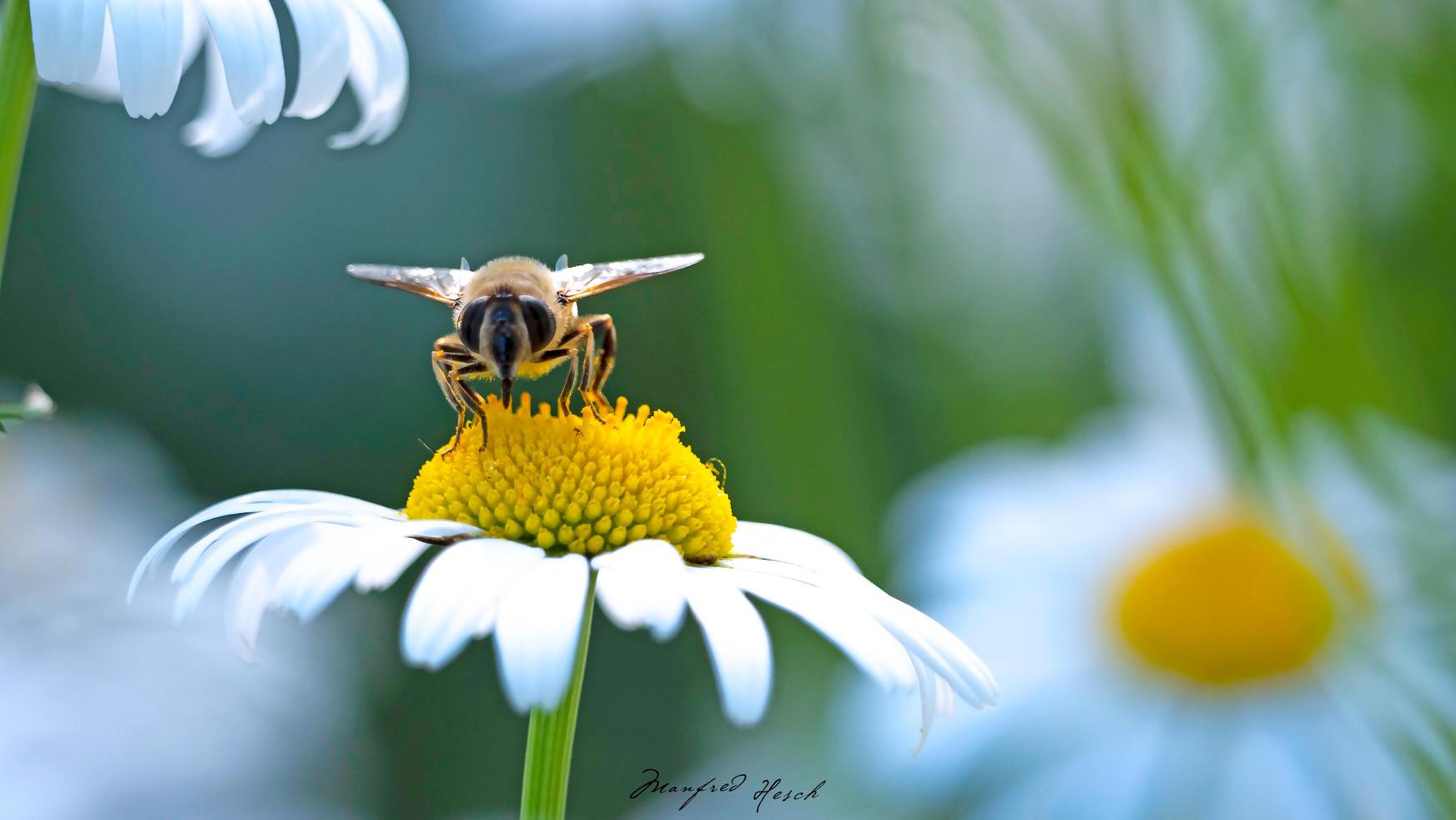 Wildbiene auf einer Margarite