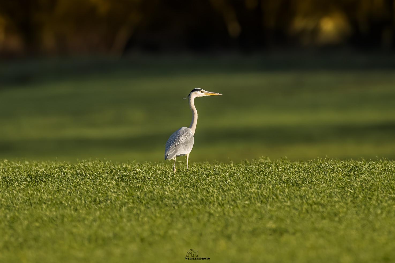 Graureiher - Wildtier Fotografie