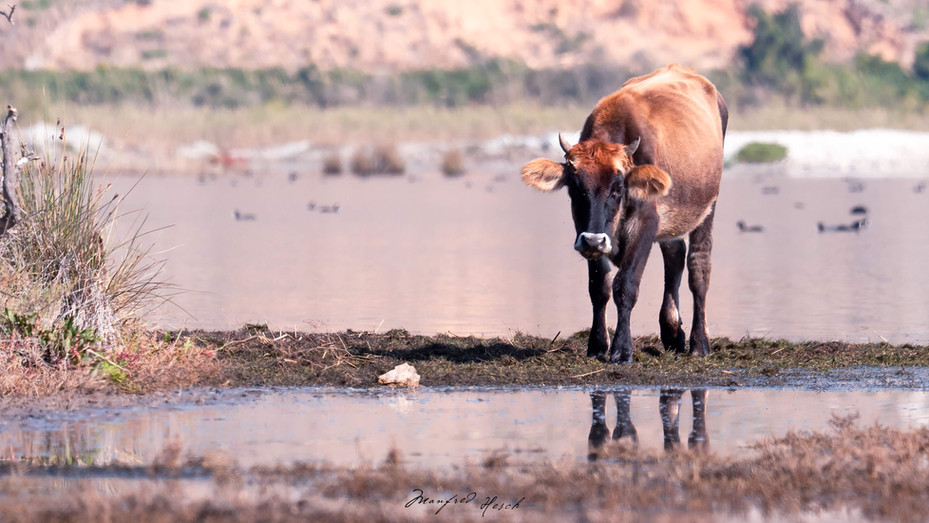 Eine Kuh an einer Salzlacke - CAP ARAXOS Südpeloponnes