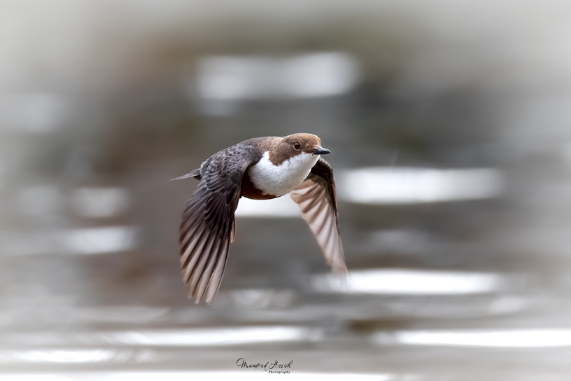 Wasseramsel im Flug