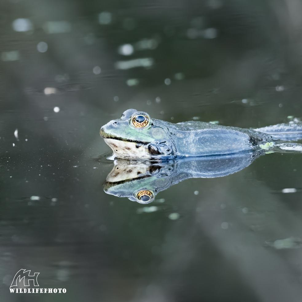 Ein Teichfrosch spiegelt sich wunderbar an der Wasseroberfläche - April 2020