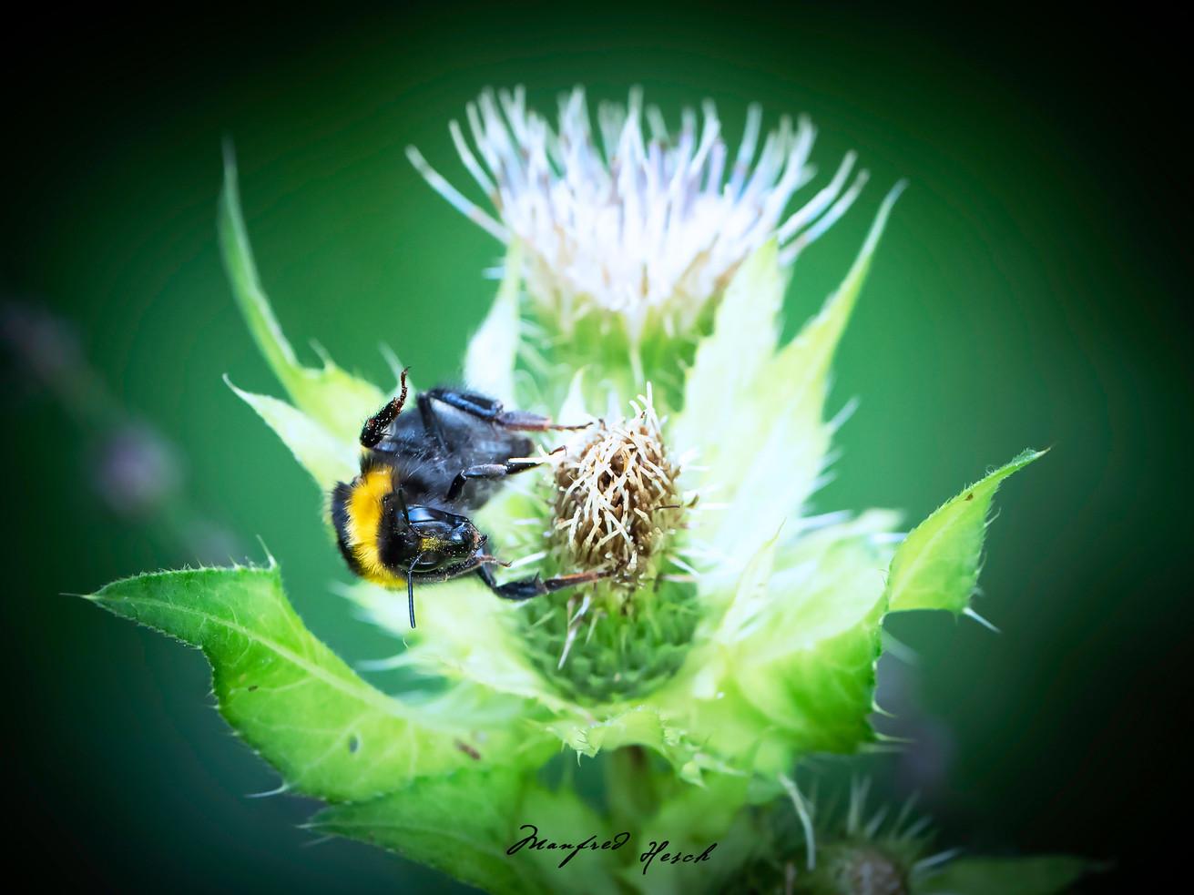 Hummel auf einer Distel - Bumblebee on thistle