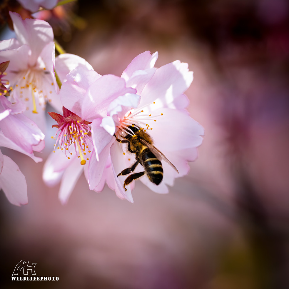 Mit der wunderschönen Kirschblüte haben auch die Bienen viel Arbeit - April 2020