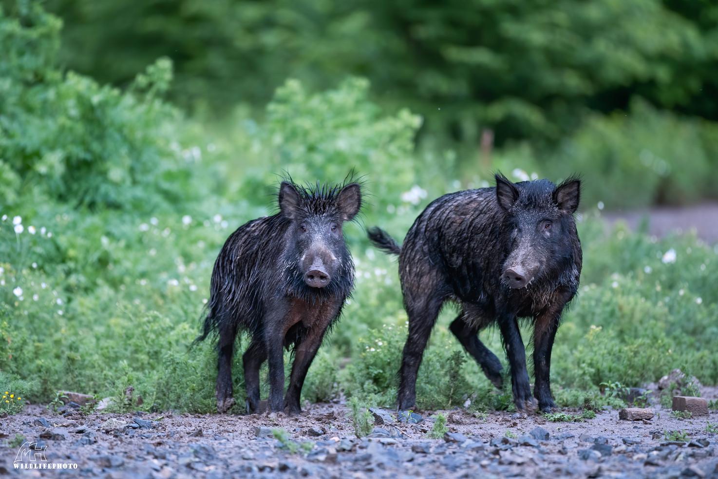 Gruppe Wildschweine