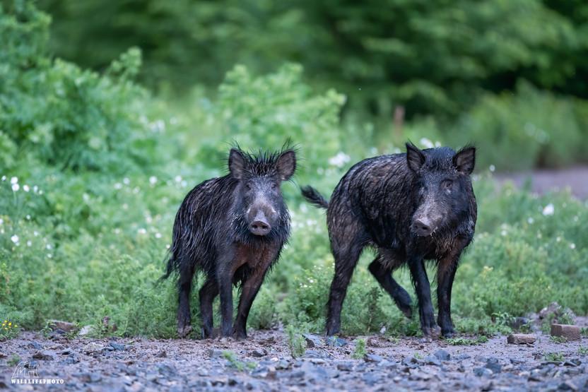 Rotte Wildschweine