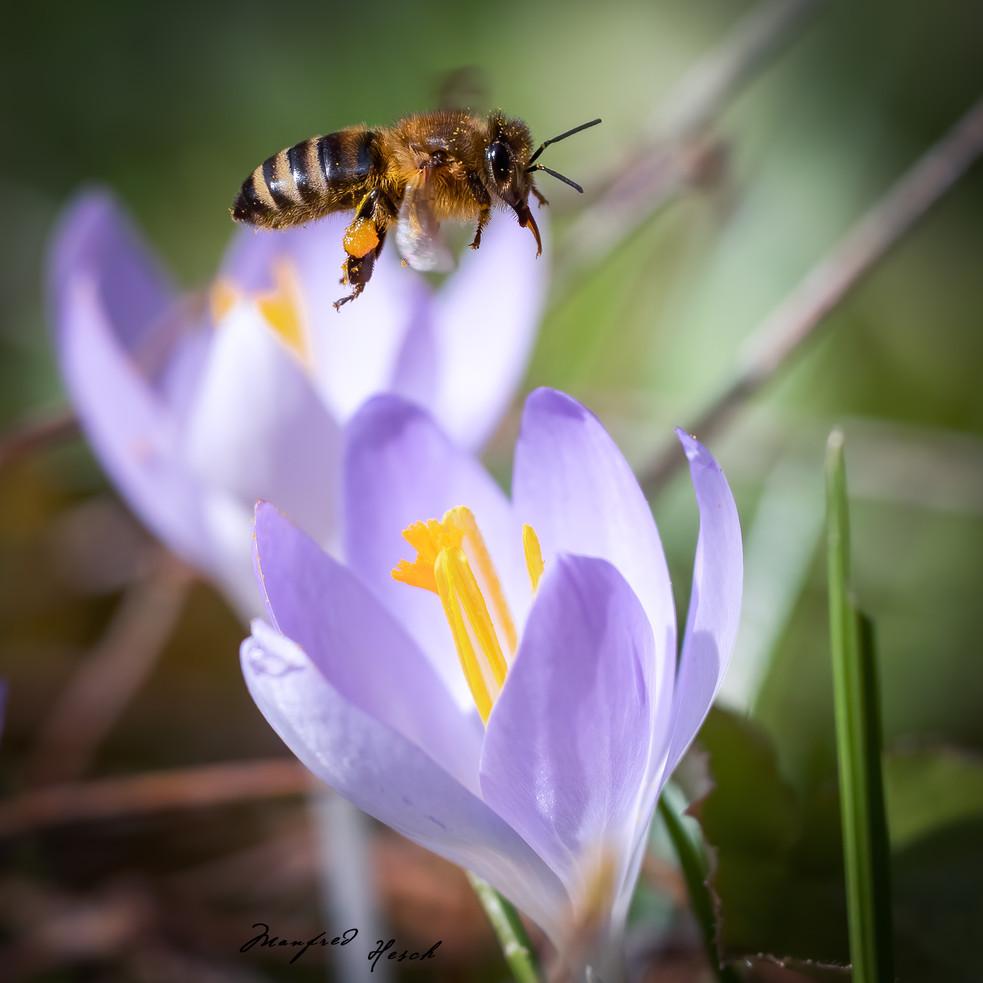 Biene im Anflug auf eine Krokusblüte - Februar 2020