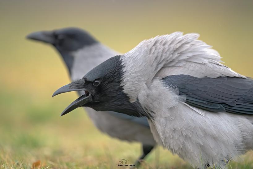 Nebelkrähe - Wildtier Fotografie