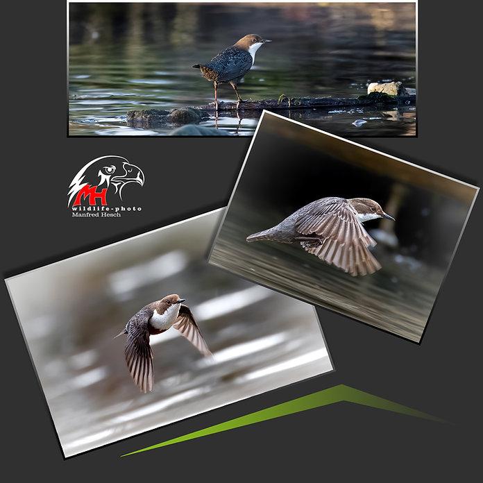 Fotoworkshop Wasseramsel - MH-Photography