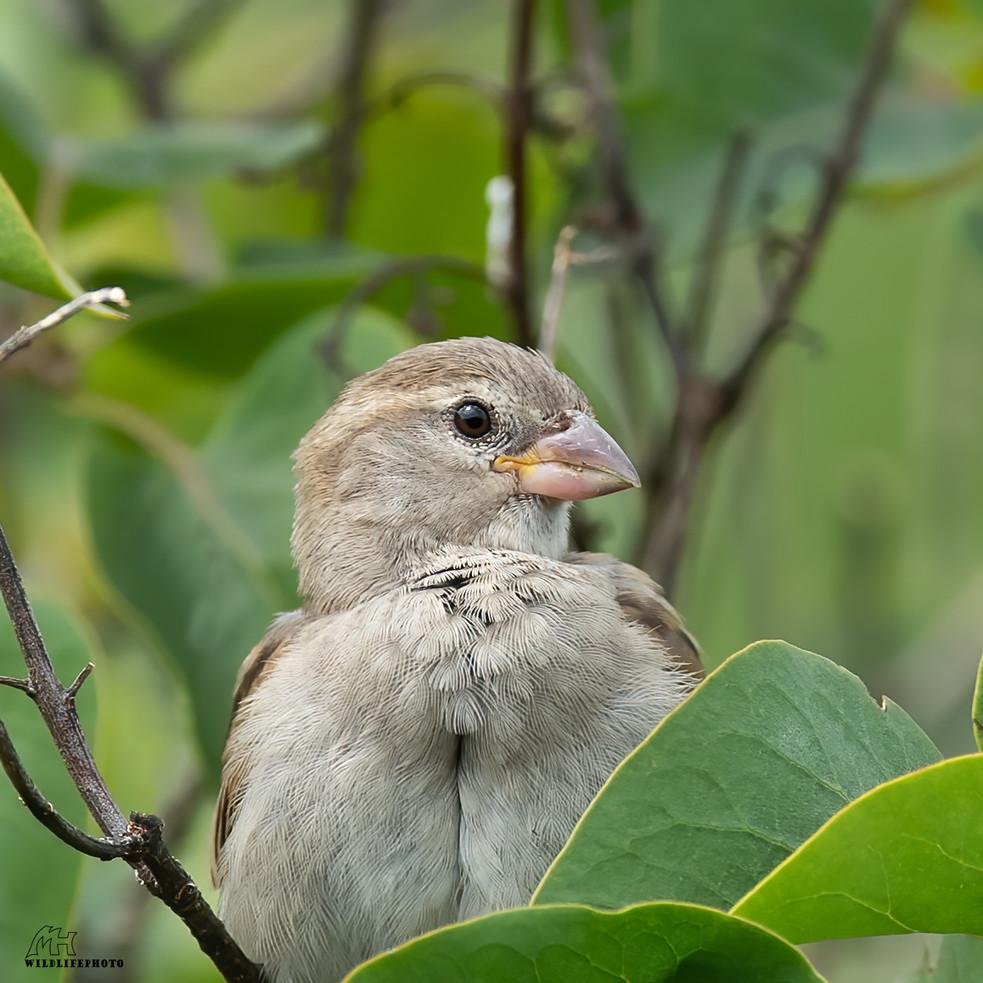 Haussperling Jungvogel