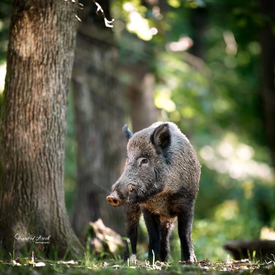 Wildschwein - Keiler