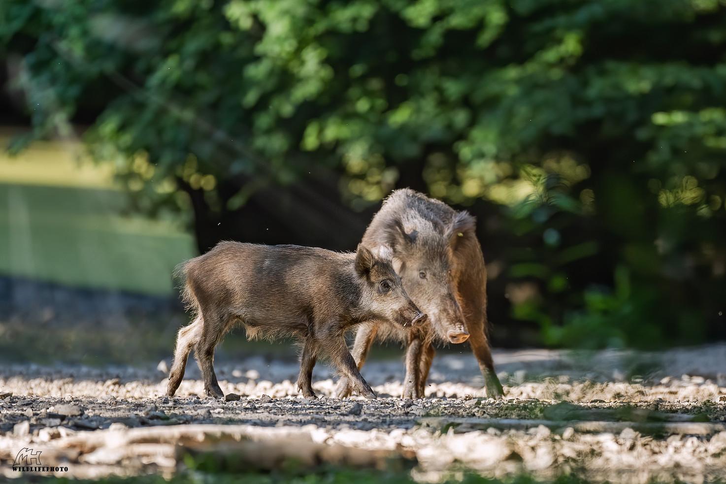 Wildschweine am Tümpel
