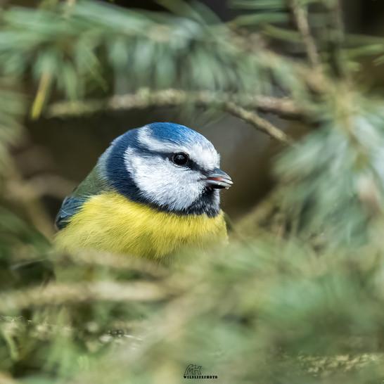 Blaumeise - Wildtier Fotografie