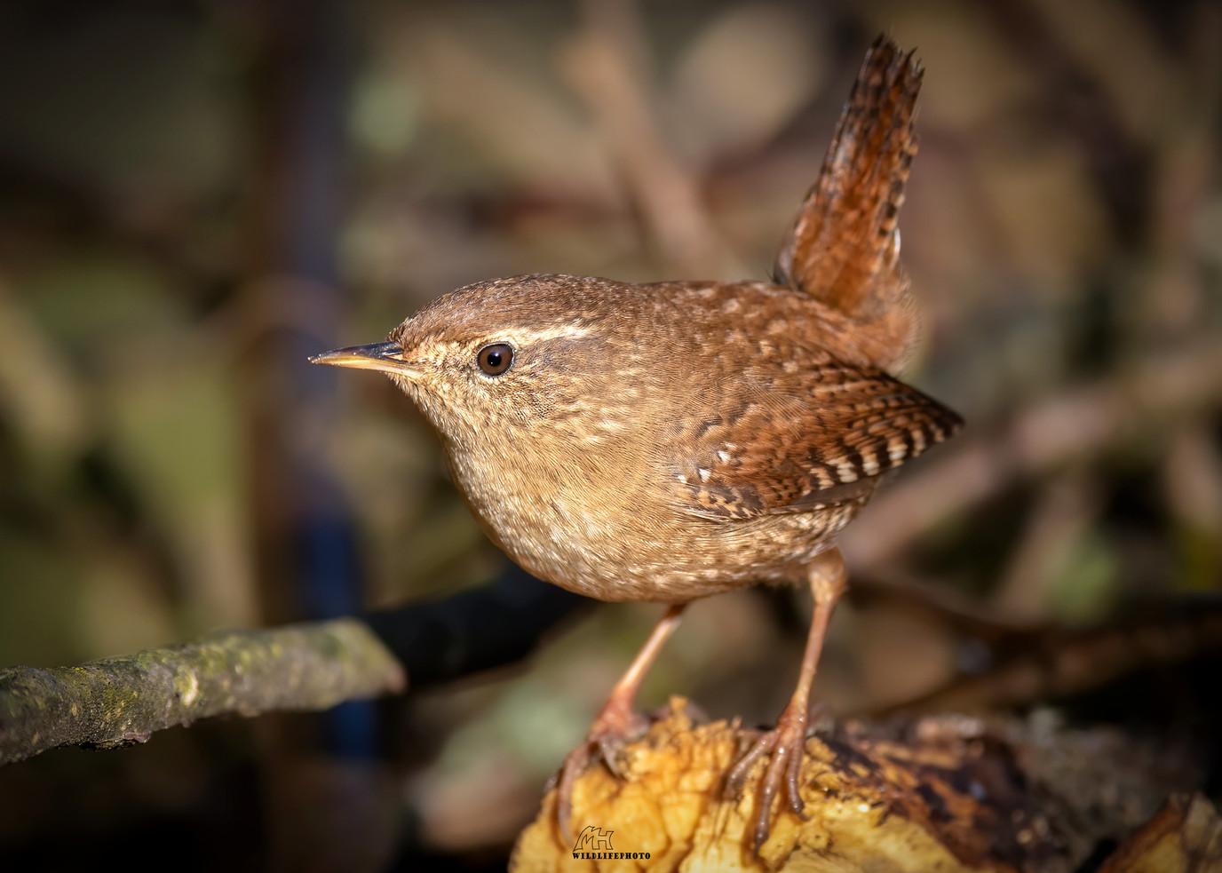 Europas drittkleinster Vogel - Vogel Fotografie