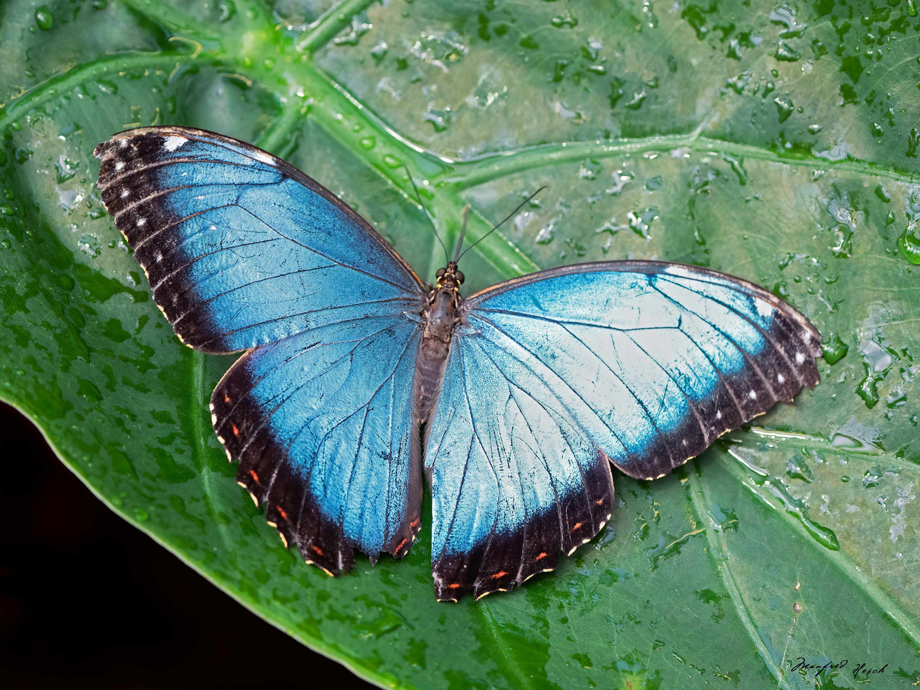 Schmetterling Blauer Morpho - Februar 2020 Botanischer Garten