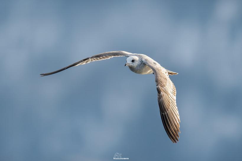 Silbermöwe im Jugendkleid - Vogel Fotografie