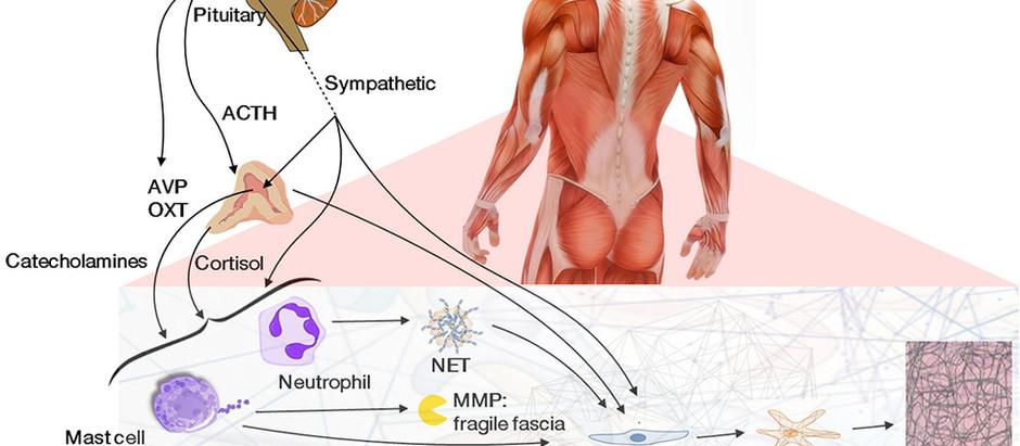 Impact du stress, de l'immunité et des signaux du système endocrinien et nerveux sur le fascia