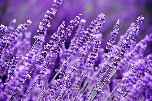 Lavender Field in the summer.jpg
