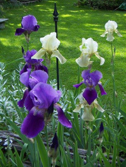 iris print small