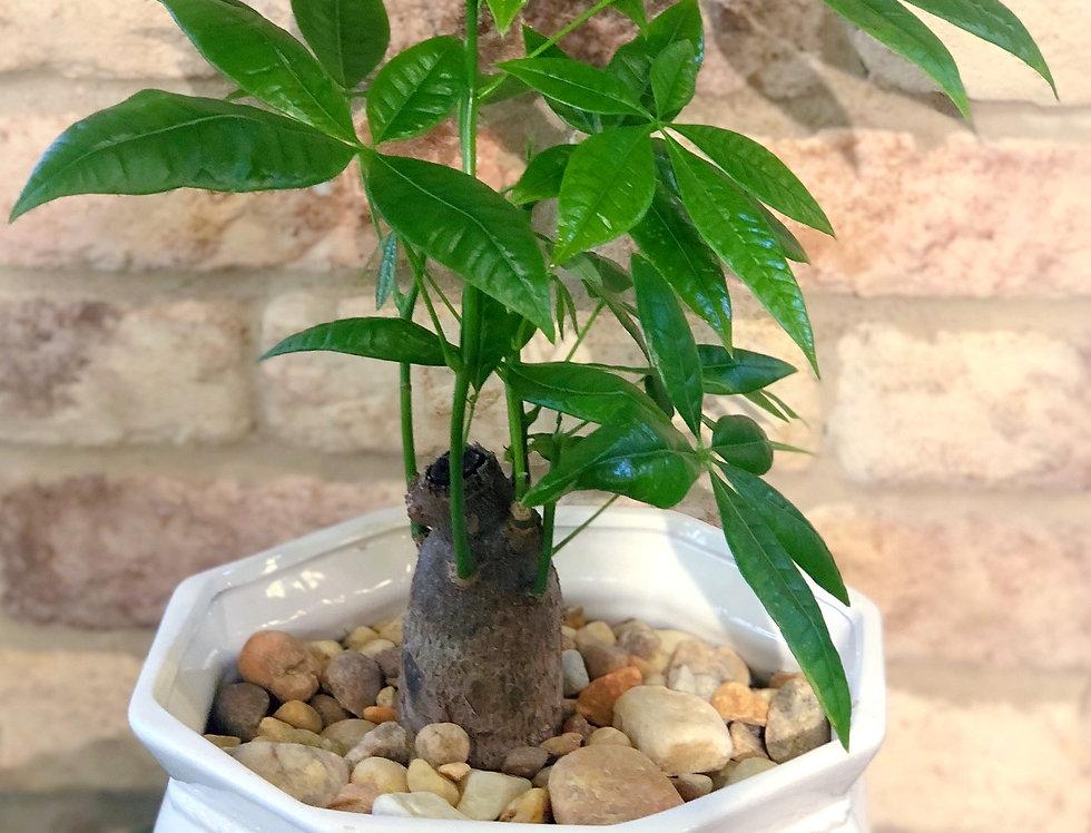 Money Tree Bonsai in China