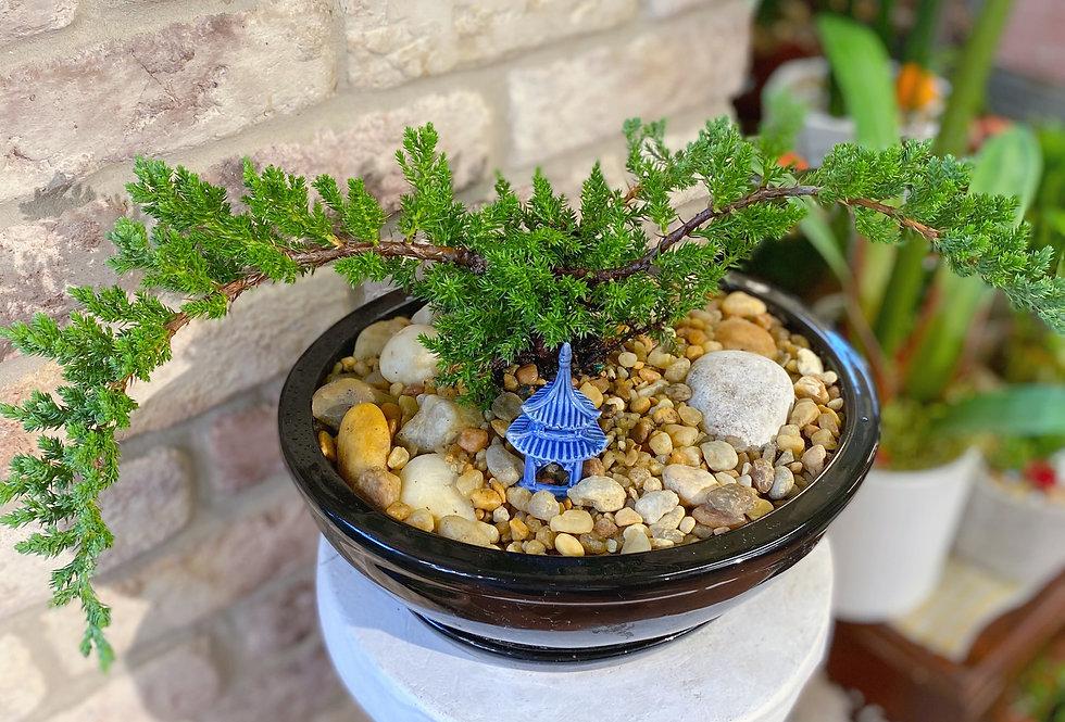 Juniper Bonsai in Round Pot
