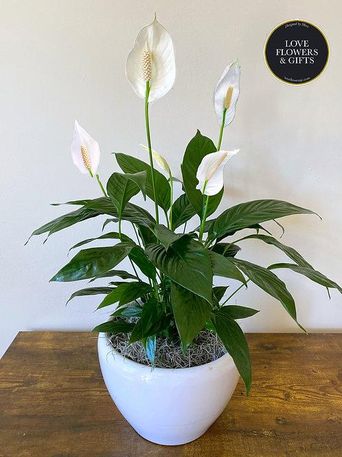 Peace Lily in Ceramic Pot