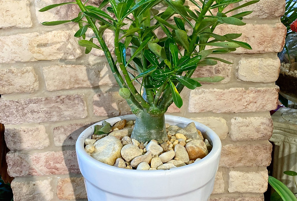 Desert Rose Plant in White Pot