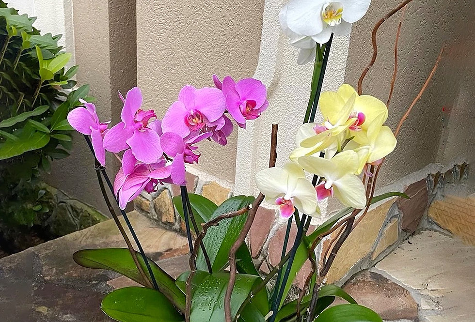 Blooming Orchids