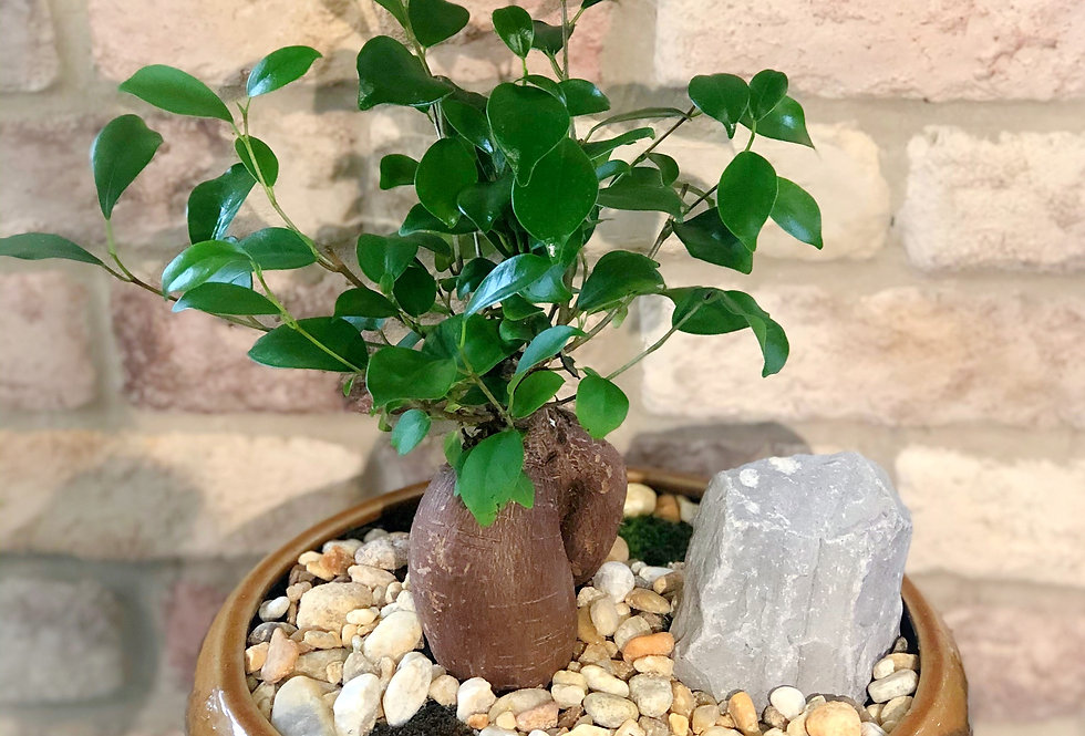 Ginseng Grafted Ficus Bonsai in Round Glazed Ceramic
