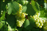 Chardonnay Grape Grappes Naveau