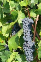 Meunier Grape Grappes Naveau