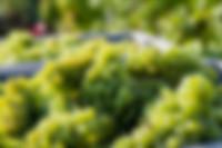 Chardonnay Cote des Blancs Champagne Naveau