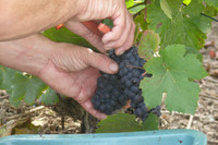 Pinot Noir Grape Grappes Naveau