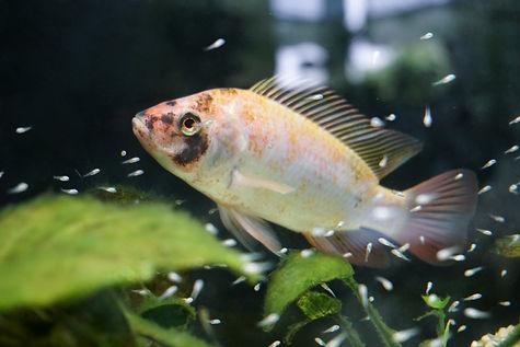 nil tilapia with babyfish, fry, aquaponi