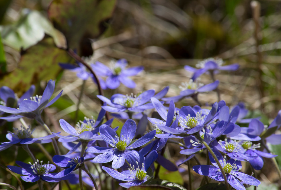 Hepatica nobilis sinivuokko -Hauho
