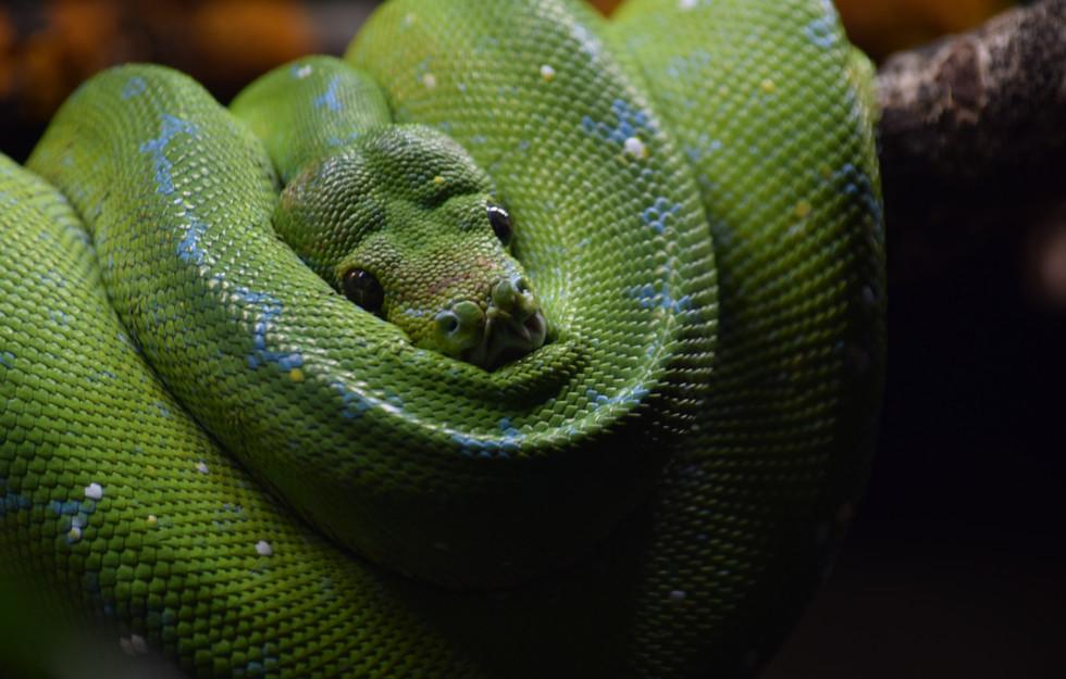 Puupyton, Morelia viridis