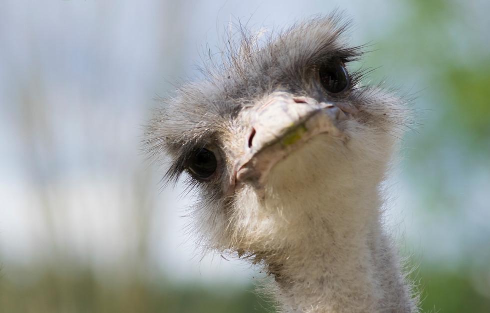 Strutsi, Struthio camelus