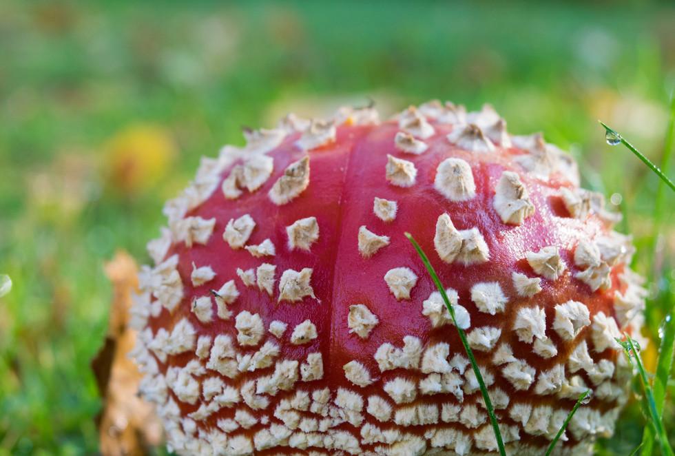Amanita muscaria, punakärpässieni