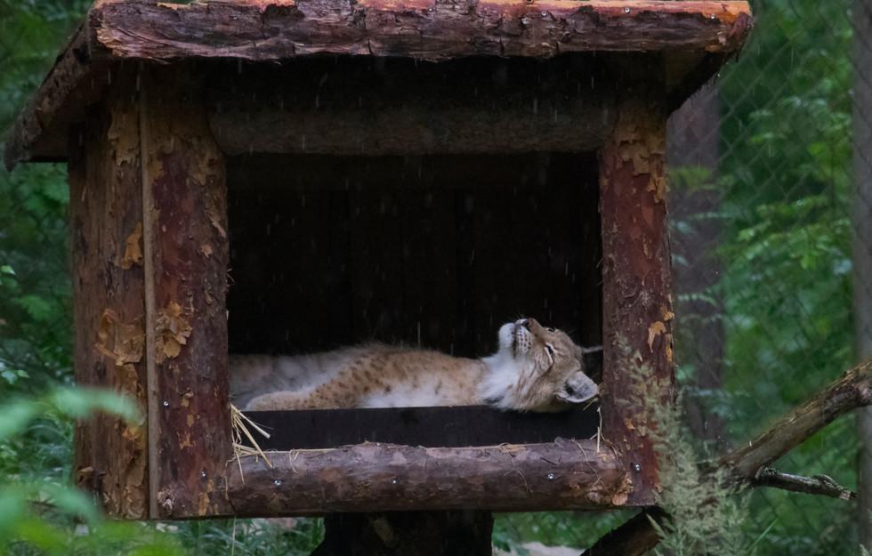 Ilves, Lynx lynx