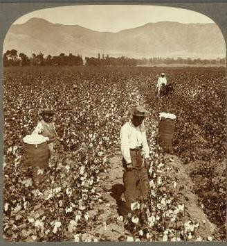 An image of Chinese laborers/slaves in Peru picking cotton on a field. Using Chinese slaves and/or indentured servants was a common practice alongside using African ones. (Image Source: Brown University)