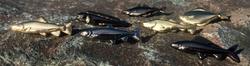 Flotte fiskepins