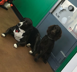 pawn shop dogs alice and tilly lab boykin spaniel